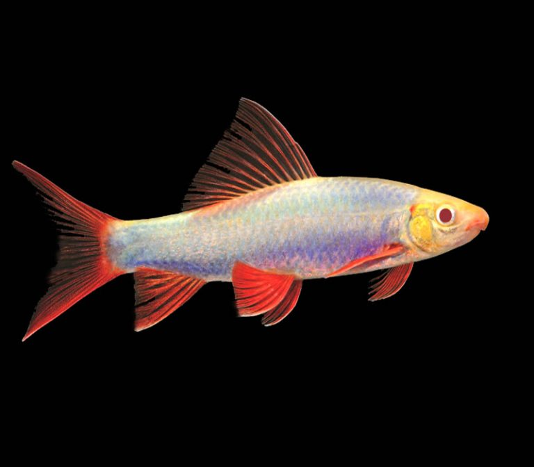 Rainbow Shark | A to Z Guide – Care, Tank Mates, Size and Diet