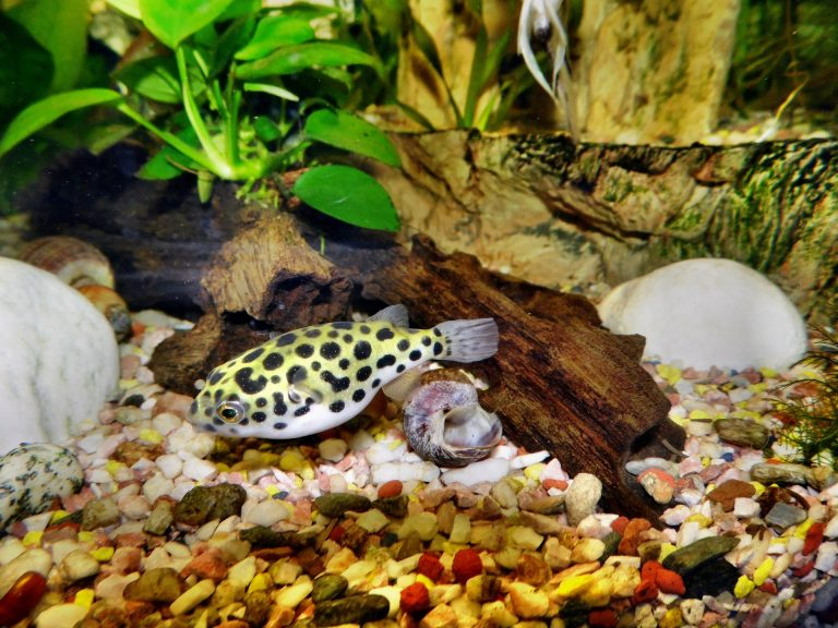 Dwarf Puffer | A to Z Guide – Care, Tank Mates, Size and Diet