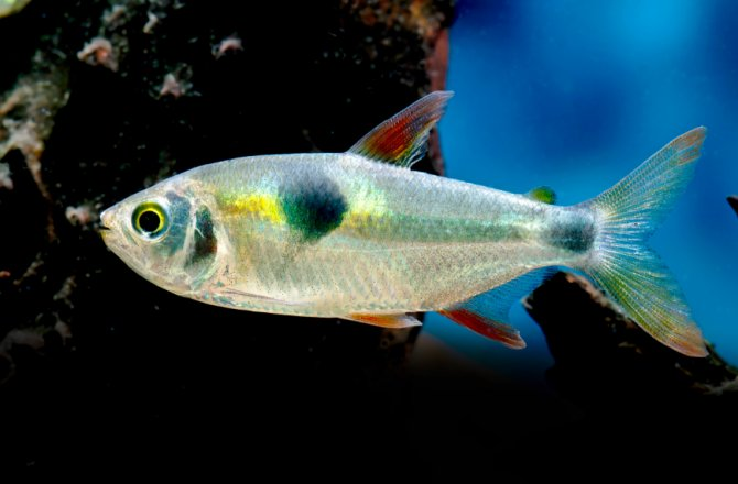 Bucktooth Tetra | A to Z Guide – Care, Tank Mates, Size and Diet