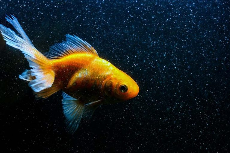 Fantail Goldfish | A to Z Guide – Care, Tank Mates, Size and Diet