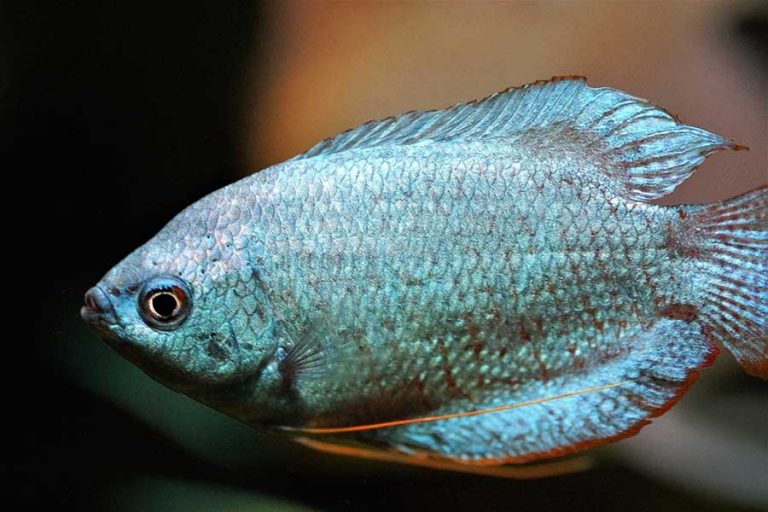 Blue Gourami | A to Z Guide – Care, Tank Mates, Size and Diet