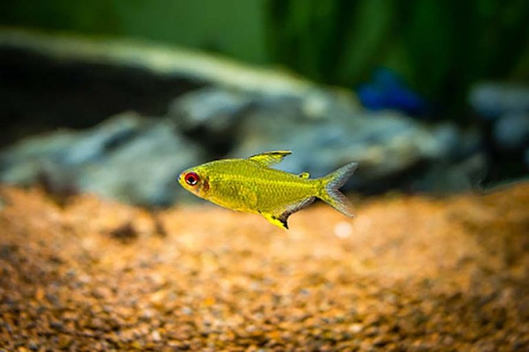 Lemon Tetra | A to Z Guide – Care, Tank Mates, Size and Diet